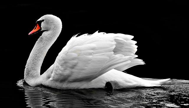 labuť na vodě